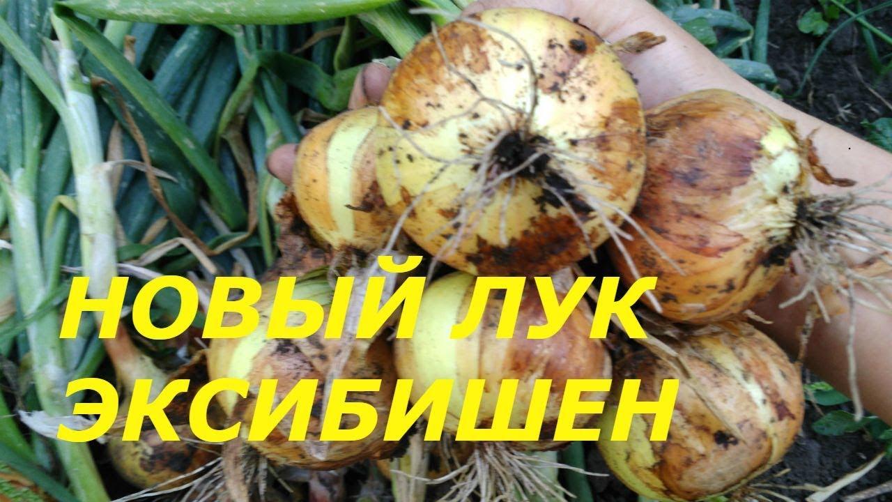 как правильно посадить лук эксибишен рассадой