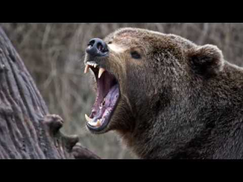 Brutal Bear Attacks - The Death of World&39;s Greatest Animals