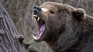 Baixar Brutal Bear Attacks - The Death of World's Greatest Animals!