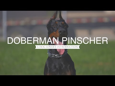 DOBERMAN PINSCHER A DOG LOVER'S INTRODUCTION