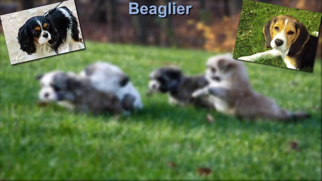 Fabelhaft Beaglier - Photos & Quick Facts About The Cavalier King Charles #KN_67