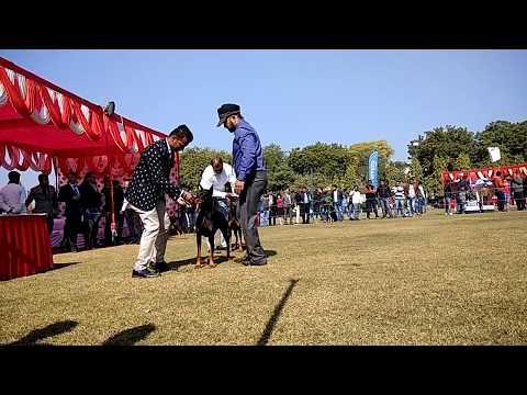 .DOBERMAN DOG SHOW IN DELHI 2018..