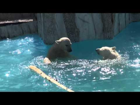The polar bear twin cubs play in the water at Sapporo Maruyama Zoo, Japan (Jun.9 2013)