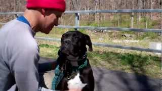Ness The Boxer Mix Has Been Adopted!