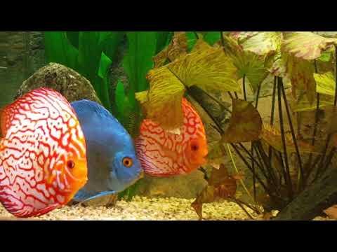 Juwel 450 Liter Diskus Aquarium