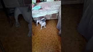 Реакция Пекинеса на лай собак в компьютере