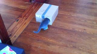 Alma w sobotni poranek 2 / kot rosyjski niebieski / russian blue cat