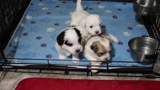 Coton Puppies For Sale - Haylie 11/21/20