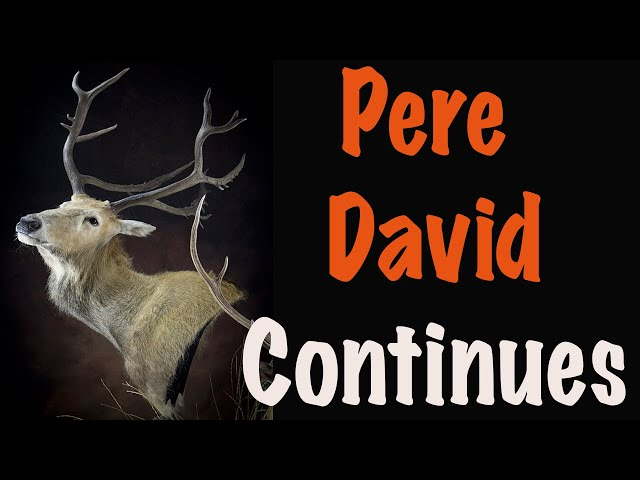 Pere David Deer, Part 4 of 5...  How to TUCK  the back skin.... Art of Taxidermy.
