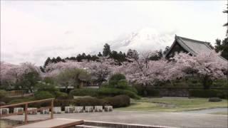 Cherry Blossom at Taiseki Temple, Fujinomiya, Japan 09/Apr/2016 #1 富士宮大石寺の桜 thumbnail