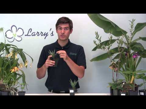 How to Grow Aloe - EASY!