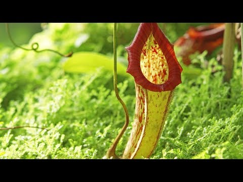 Poisonous Pitcher plant - The Private Life of Plants - David Attenborough - BBC wildlife