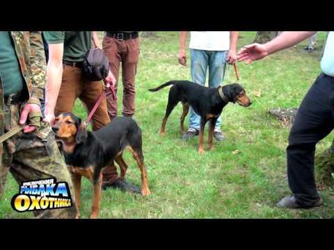 Русская пегая гончая фото и видео собак на охоте