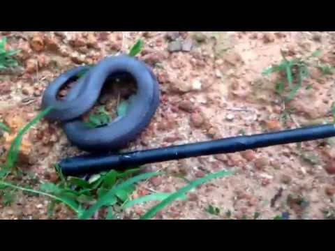 Stiletto Snake in Togo, Africa