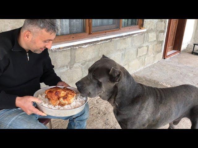 CANECORSO NARKOZ'UN ÖDÜL YEMEĞİ AKLINI BAŞINDAN ALDI :)) #canecorso #jackrussell #dogoargentino