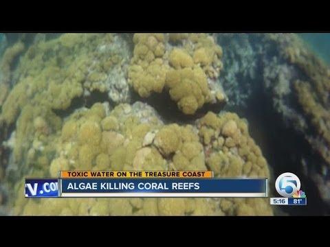 Algae killing coral reefs