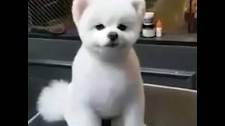 Милая  собачка  тоже любит стричься