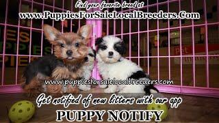 Teddy bear, Cavapoo, Yorkie, Bichon Frise, Puppies For Sale, Atlanta, Georgia Local Breeders