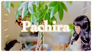 パキラのお引っ越しと剪定✂️挿木🌿