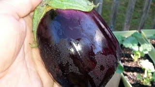 How to grow aฑd Harvest eggplant