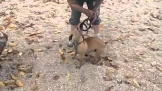 Bentley-dachshund/chihuahua Mix