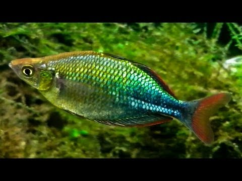EMERALD RAINBOW FISH (Up-Close)