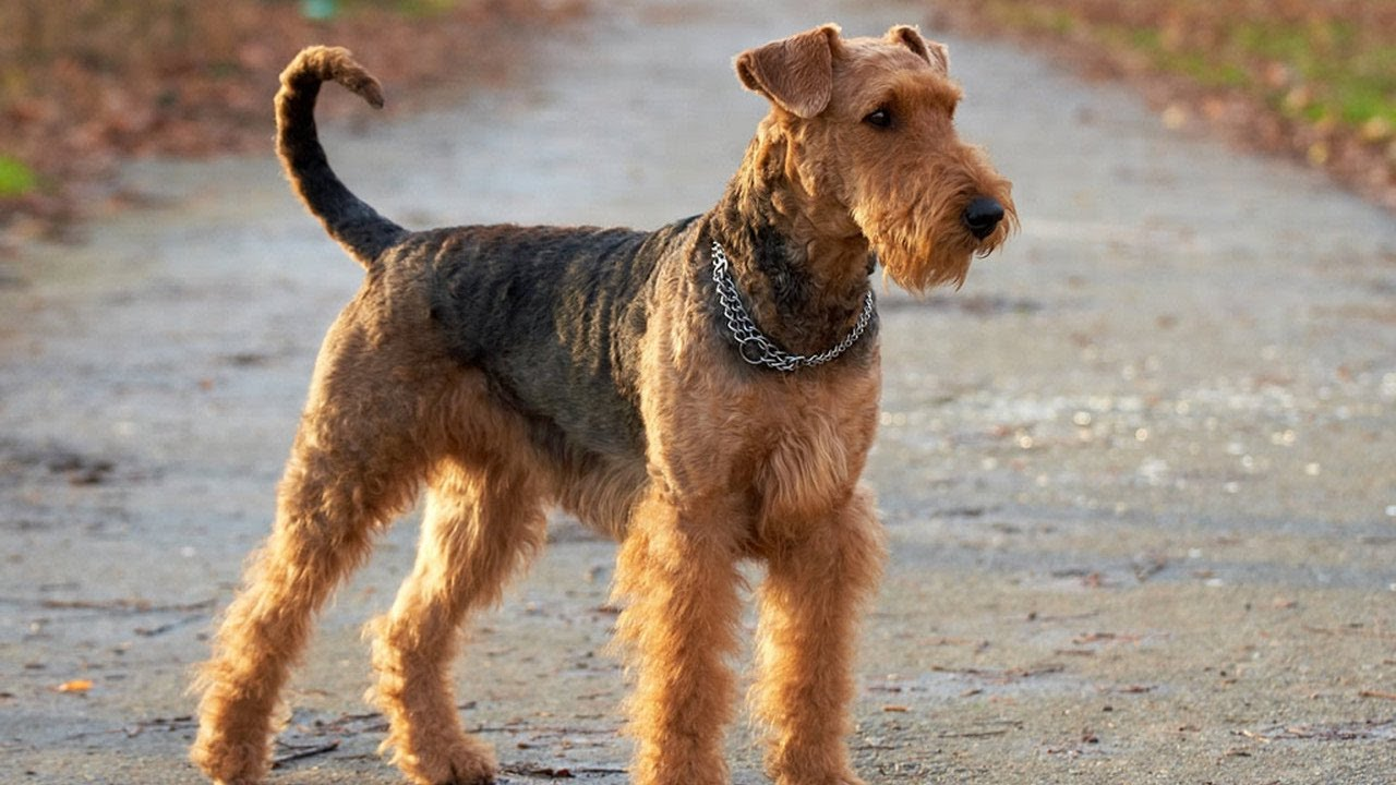 Airedale Terrier Dog Breed - YouTube