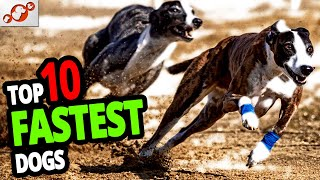 Fastest Dogs – TOP 10 Fastest Dog Breeds In The World!
