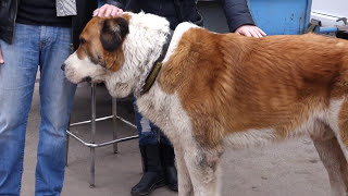 ОПАСНАЯ СОБАКА АЛАБАЙ. Scary DOG ALABAY.Odessa.