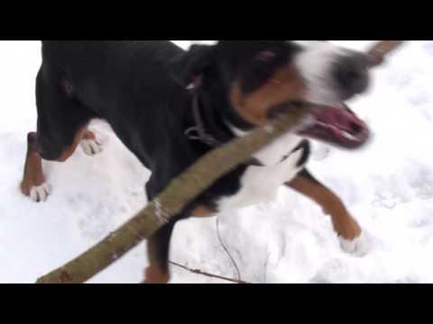 Walking with the Greater Swiss Mountain Dog - Großer Schweizer Sennenhund