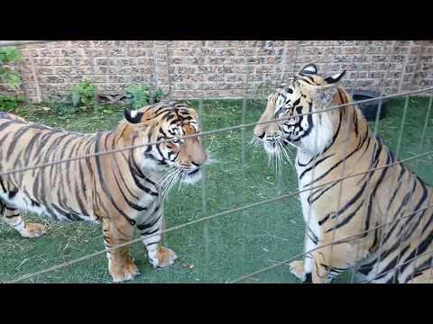 Tigers getting loud !