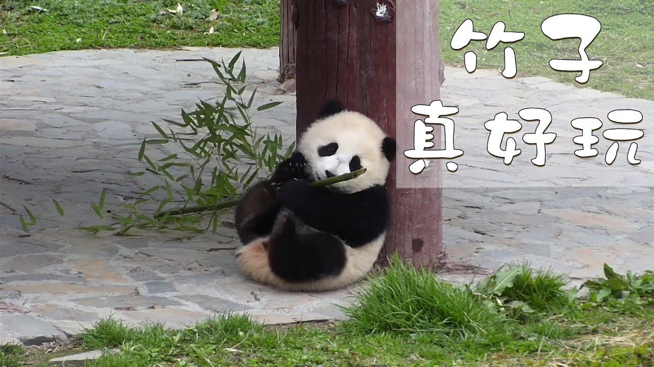 《熊貓早晚安》竹子真好玩 | iPanda熊貓頻道 - YouTube