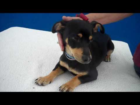 A4956739 Theon | Miniature Pinscher/Dachshund Mix Puppy