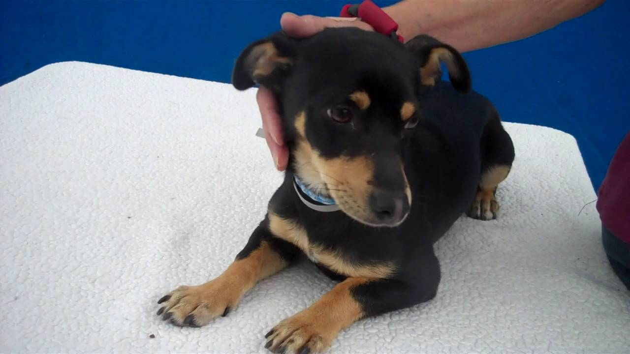 A4956739 Theon Miniature Pinscher Dachshund Mix Puppy Youtube