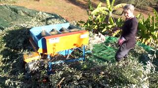 Olive Picking Kalamata Greece