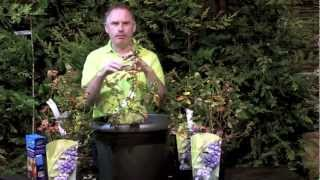 How To Grow Blueberries | Killarney Garden Centre