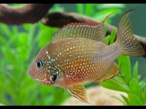 Рыбка элиот фото