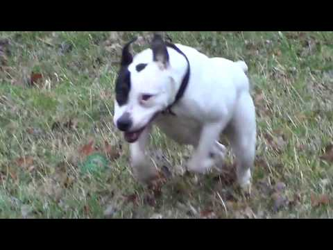 2017 American Pit Bull Terrier Energetic And Active Breed
