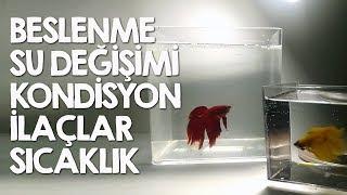 Beta Balığı Bakımı ile ilgili Genel Sorular
