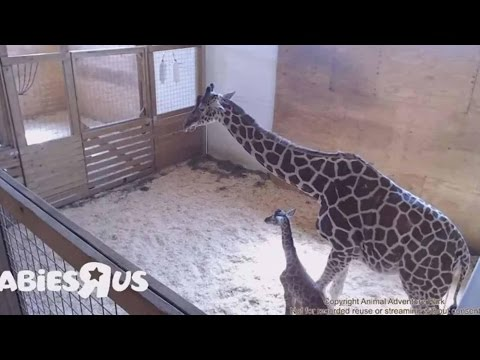 Thumbnail: Giraffe | Animal Adventure Park Giraffe Cam - April the giraffe Live Stream Youtube Update 4/21/2017
