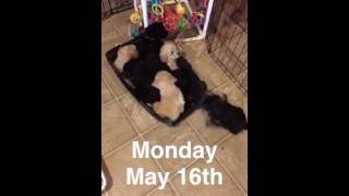Potty Training Puppies with Doggy Lawn Grass + Patch of Sod - Pups By Taylor 05/16/16
