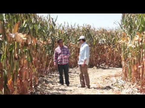 syngenta corn academy Adana
