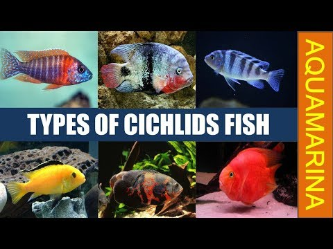 Most Popular Varieties Of Cichlids | Types Of Cichlid Fish | Best For Your Home Aquarium