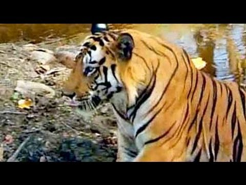 Safari India: Tigers of Bandhavgarh National Park (Aired: Oct 2004) thumbnail
