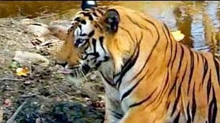 Safari India: Tigers of Bandhavgarh National Park (Aired: Oct 2004)