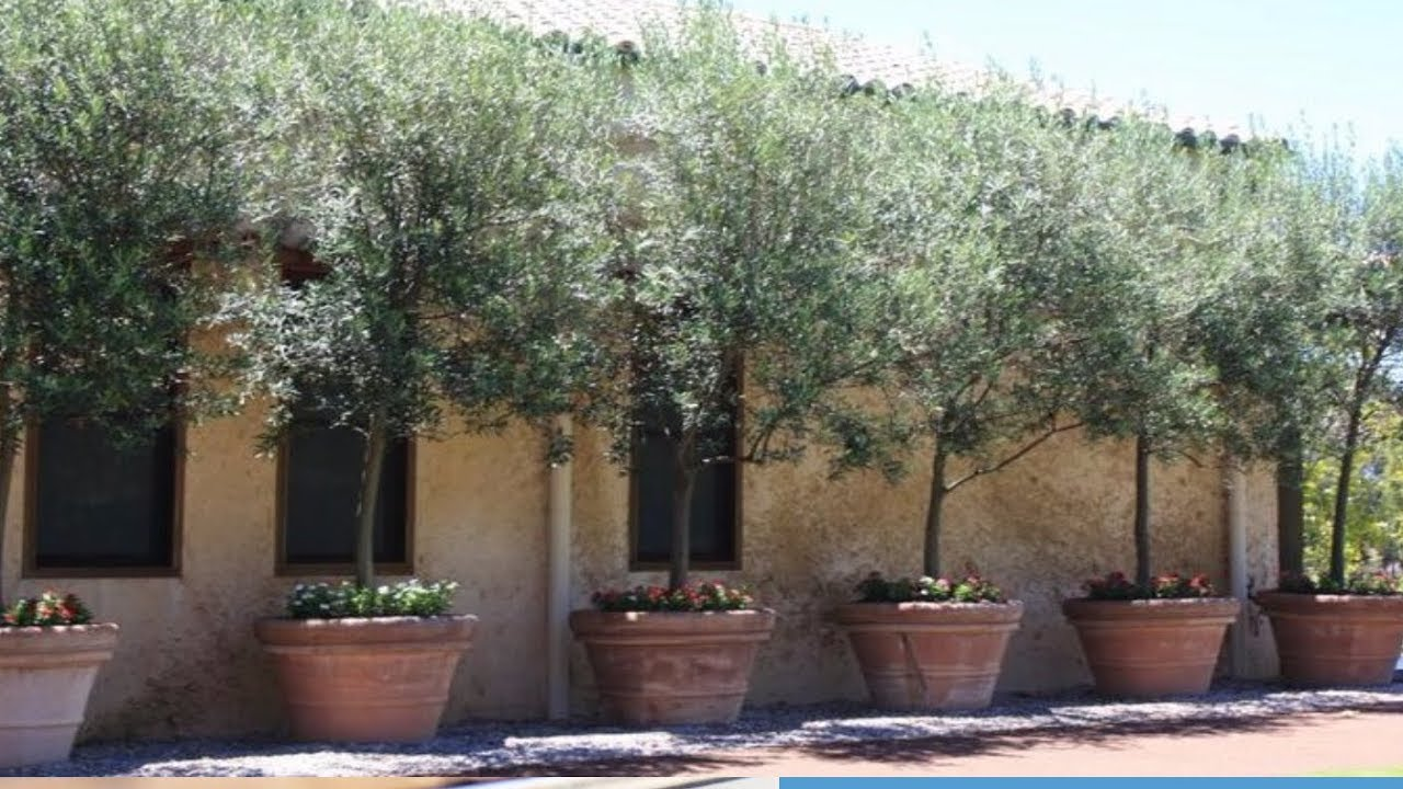 how to growing olive trees in containers youtube