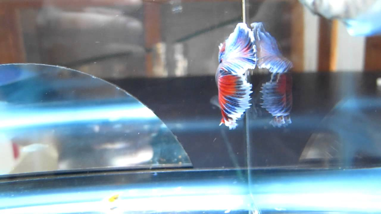 Marble Halfmoon Betta Fish for Sale on Aquabid.com
