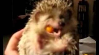 Igel beim Fressen