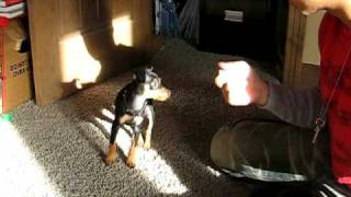 Training my Min Pin - 8 weeks old