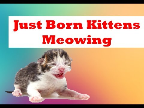 Just born kittens meowing and crying for Mom